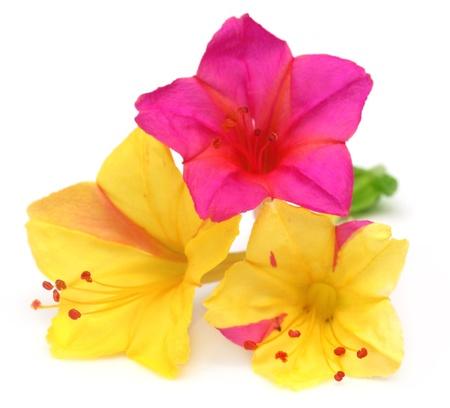 mirabilis: Mirabilis Jalapa o sandhya Moni fiore del Sud-Est asiatico