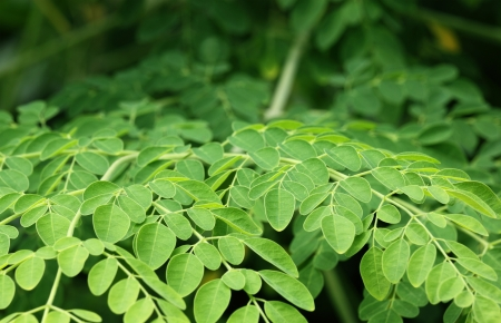 Edible moringa leaves  Stock Photo - 19286578