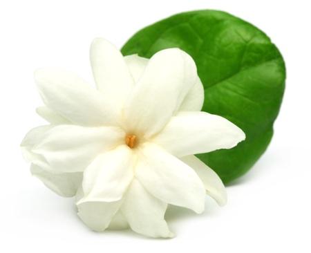 jasmine flower: Jasmine flower over white background Stock Photo
