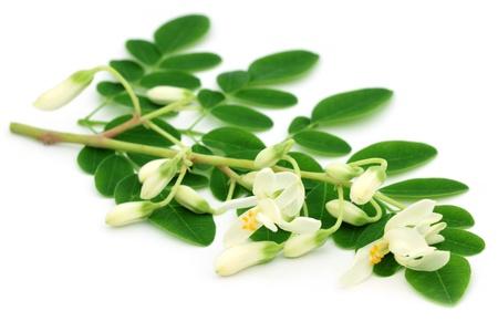 mlonge: Edible moringa lascia con fiore su sfondo bianco