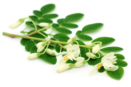 ben oil: Edible moringa leaves with flower over white background Stock Photo