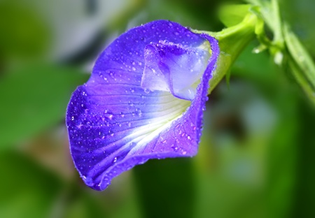 subcontinent: Clitoria ternatea or Aparajita flower of Indian subcontinent