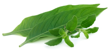 Medicinal herbs Tulsi and Basak leaves  Stock Photo - 20612403