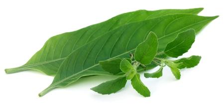Medicinal herbs Tulsi and Basak leaves Stock Photo - 20612403