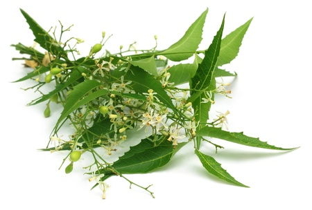 neem: Medicinal neem leaves with flower