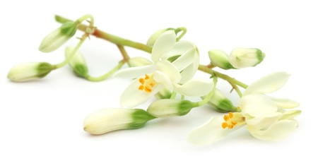 marango: Edible moringa flower over white background