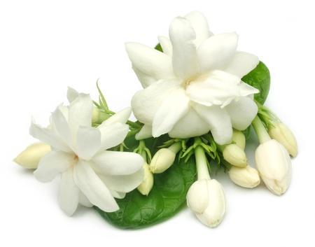 ジャスミンの花の葉を持つ 写真素材