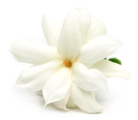 jasmine: Jasmine flower over white background Stock Photo