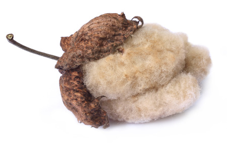 plant gossypium: Organic cotton Stock Photo