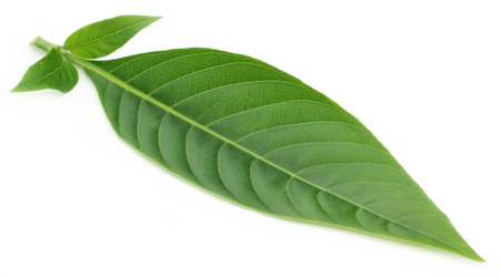 botanical remedy: Adhatoda vasica or medicinal Basak leaf Stock Photo
