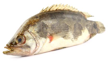 veda: Mottled Nandus or veda fish of Sout Asia