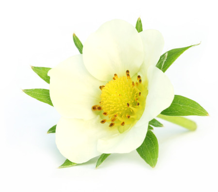 Strawberry flower over white  photo