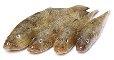 goby: Serbatoio ghiozzo del popolare pesce Bele del subcontinente indiano su sfondo bianco