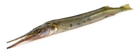 gar: Needle fish of Southeast Asia over white background
