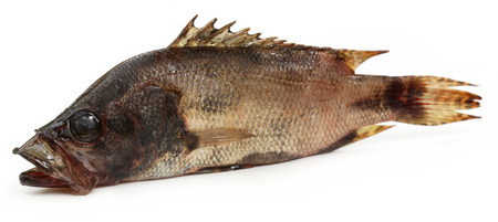 veda: Mottled Nandus or veda fish of Sout Asia over white background
