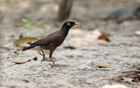 subcontinent: Common Myna of Indian Subcontinent on ground