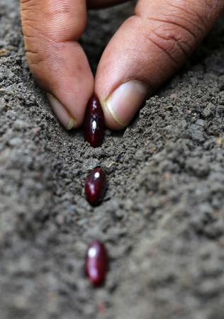 Planting Rajma dal in soil photo