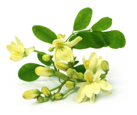 mlonge: Fiore commestibile moringa over backgrokund bianco