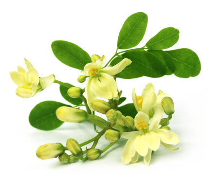 oleifera: Flor moringa comestible sobre backgrokund blanco