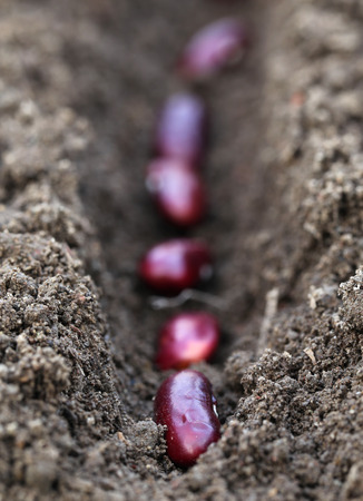 Planting Rajma dal in fertile soil photo