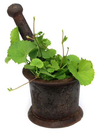 antiviral: Herbal thankuni leaves with a vintage mortar over white background