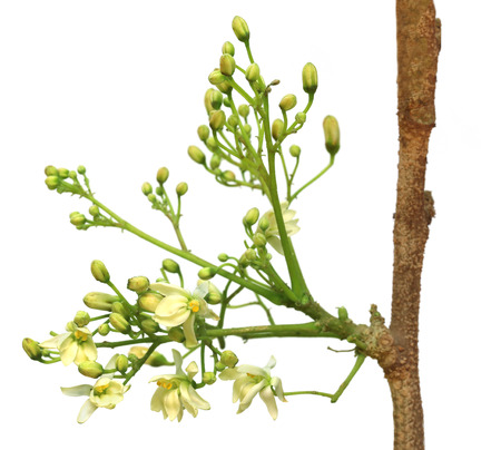 marango: Edible moringa flower over white