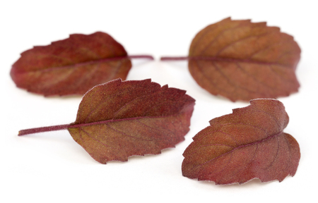 tulsi: Medicinal red tulsi leaves over white  Stock Photo