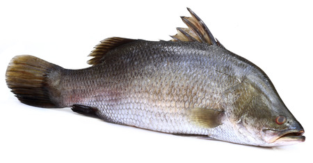 calcarifer: Barramundi or Koral fish of Southeast Asia over white background