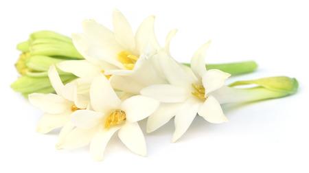 Tuberose or Rajnigandha of Southeast Asia over white background Stock Photo