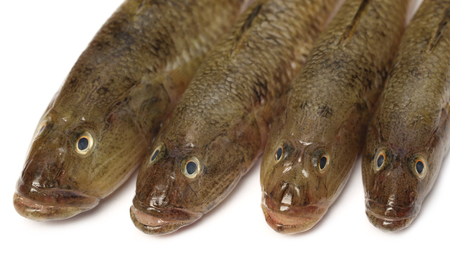 goby: Tank goby of popular Bele fish of Indian subcontinent