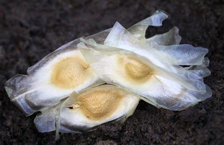 oleifera: Las semillas de la moringa oleifera en tierra f�rtil