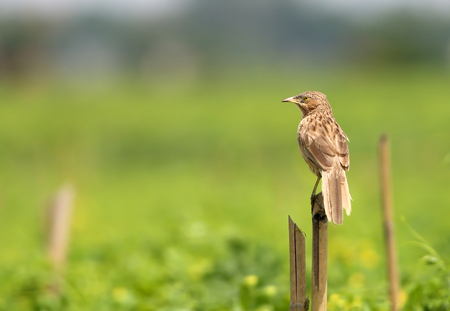 wildlive: Rattling Cisticola standing on a dried tree Stock Photo