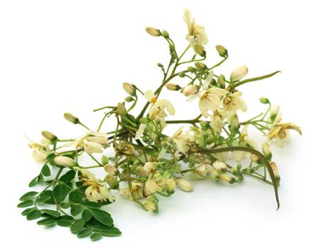 mlonge: Commestibile fiore moringa con foglie verdi su sfondo bianco