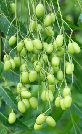 neem: Close up of Medicinal neem fruits