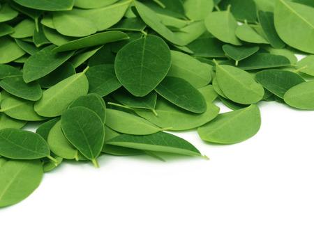 Moringa leaves over white background Standard-Bild