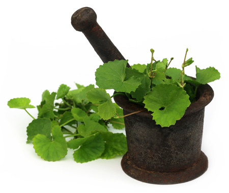 Medicinal thankuni leaves of Indian subcontinent with mortar and pestle