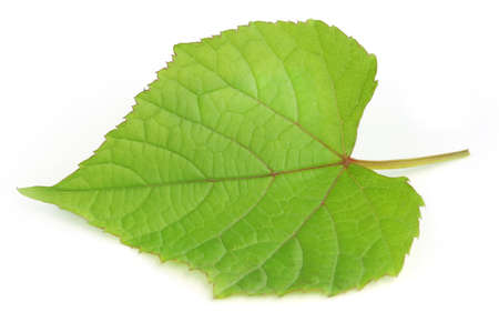 leaf grape: Hoja de la uva sobre fondo blanco