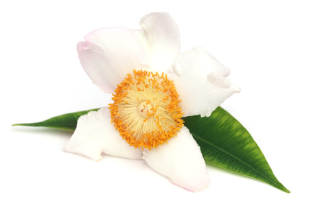 ironwood: Mesua ferrea or Nageshwar flower of Indian subcontinent over white background