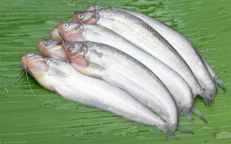 Fresh water Pabda fish of Southeast Asia on green leaf