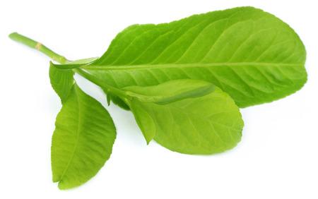 lemon leaves over white background photo