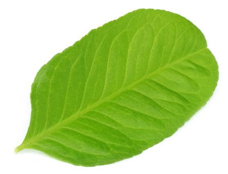 lemon leaf over white background photo