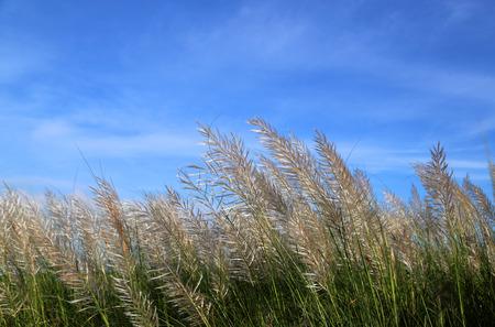 saccharum: Saccharum spontaneum or Kans grass locally known as the Kash flower in Bangladesh