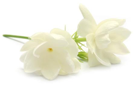 Jasmine flower over white  Stockfoto