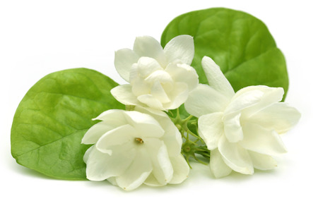 Jasmine flower over white  스톡 콘텐츠