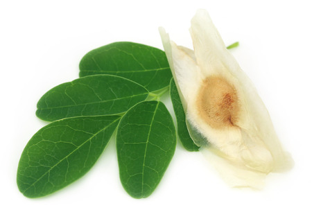 kelor: Moringa leaves with seed over white background