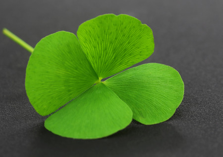 fortunate: Four Leaf Clover leaf on gray surface
