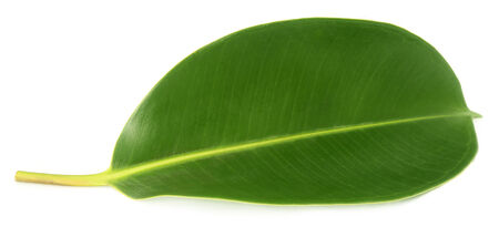 rubber plant: Green leaf of Rubber plant over white background Stock Photo