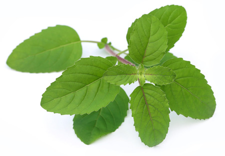 Medicinal red tulsi leaves over white background photo