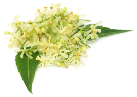 neem: Medicinal neem flower and leaves over white background