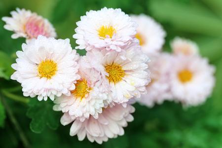 tremp�e: Close up de la pluie imbib� Chrysanth�me